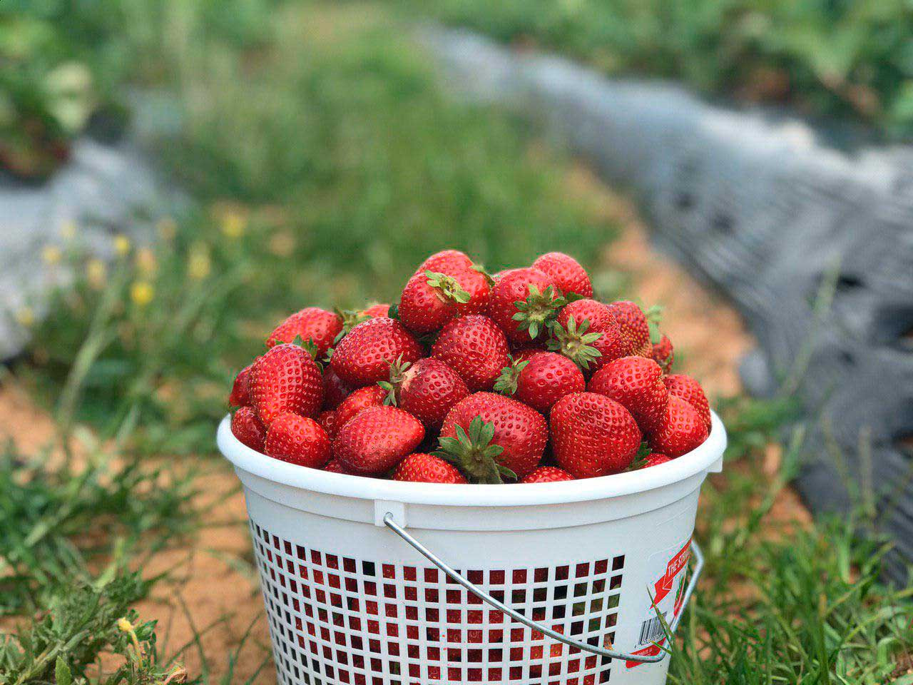 Freshest Strawberries Offers